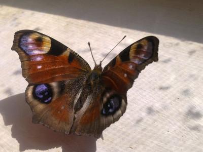 Tapeta: Motýl 2