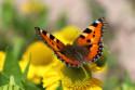 Tapeta Motýl - babočka kopřivová