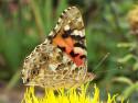 Tapeta Motýl babočka