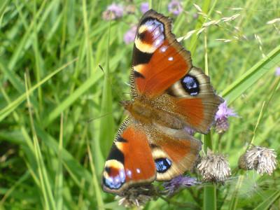 Tapeta: Motýl na květu