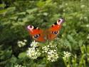 Tapeta Motýl na kytce