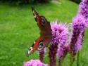 Tapeta Motýl na kytce III