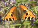 Tapeta Motýl na levanduli