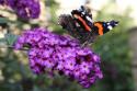 Tapeta motýl na motýlku