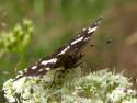 Tapeta Motýl na svačině