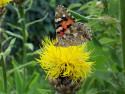 Tapeta Motýl na žluté květině