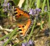 Tapeta Motýl v květu