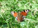 Tapeta Motýl v trávě