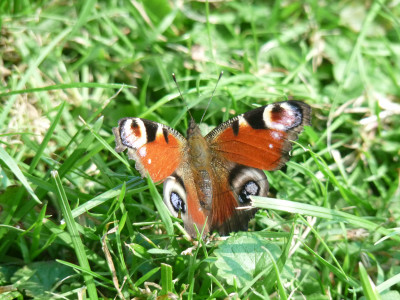 Tapeta: Motýl v trávě