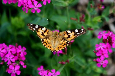 Tapeta: motýl v zahrádce 2