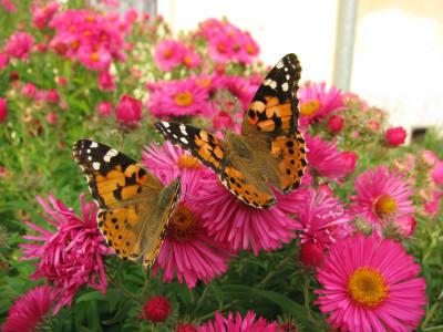 Tapeta: motýlci.....