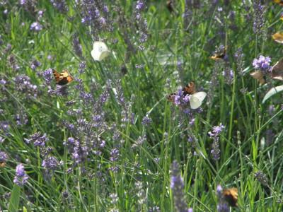 Tapeta: Motýlci na levanduli