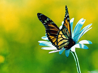 Tapeta: Motýlek 2