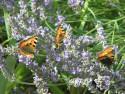 Tapeta Motyli na levanduli
