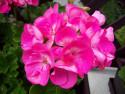 Tapeta Muškát růžový