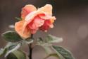 Tapeta námraza na růži