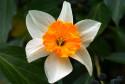 Tapeta Narcis 1