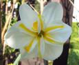 Tapeta Narcis bílý s žlutými proužky