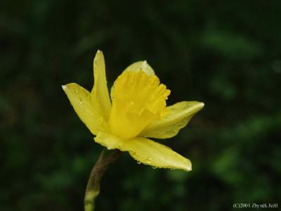 Tapeta: Narcis po ránu