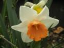 Tapeta Narcis žlutooranžový