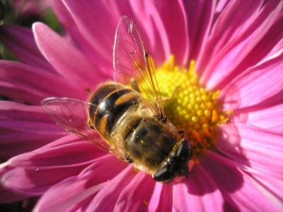 Tapeta: Nenasytná včelka