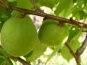 Tapeta nezralé meruňky