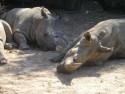 Tapeta nosorožec zoo