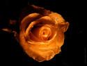 Tapeta ohnivá růže