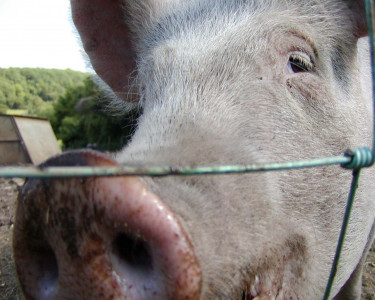 Tapeta: Oink Oink
