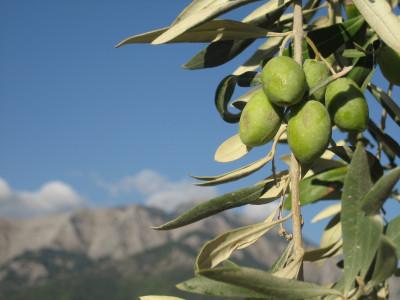 Tapeta: Olivy2