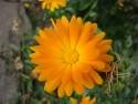 Tapeta Oranžová kráska
