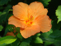 Tapeta Oranžová květina