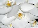 Tapeta Orchidejka