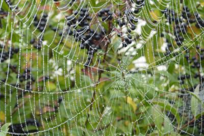 Tapeta: Orosená pavučina