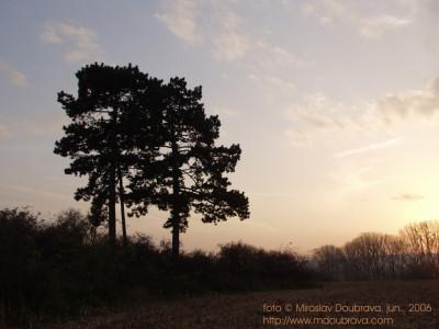 Tapeta: Osamělé borovice
