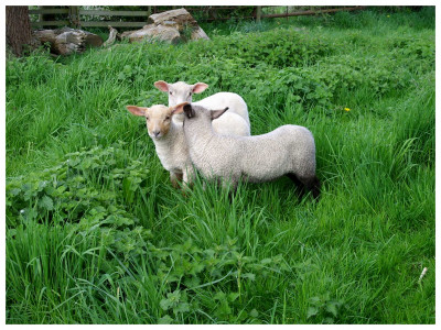 Tapeta: Ovečky