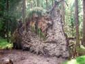Tapeta Padlý strom