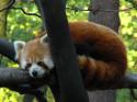 Tapeta Panda