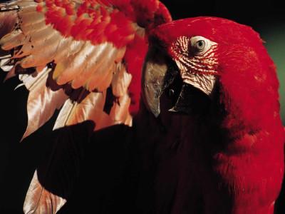 Tapeta: papagaj