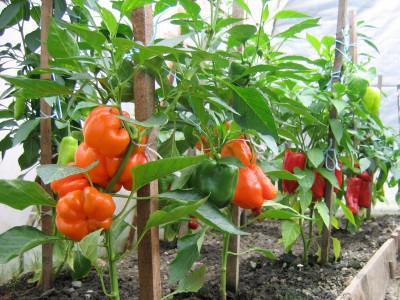 Tapeta: Papriky nás překvapily...