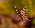 Tapeta Pavouček pro štěstí