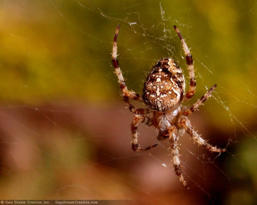 Tapeta: Pavouček pro štěstí