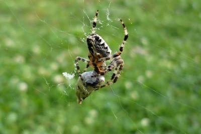 Tapeta: pavouk v síti