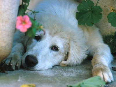 Tapeta: Pes a květina