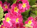 Tapeta Petrklíč ružovožlutý