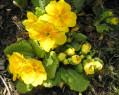 Tapeta Petrklíč žlutý