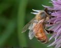 Tapeta Pilná včelička