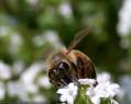 Tapeta Pilná včelička 2