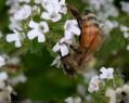 Tapeta Pilná včelička 4