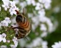 Tapeta Pilná včelička 7